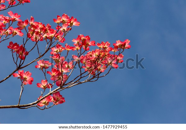 Pink dogwood trees on a bright blue spring day