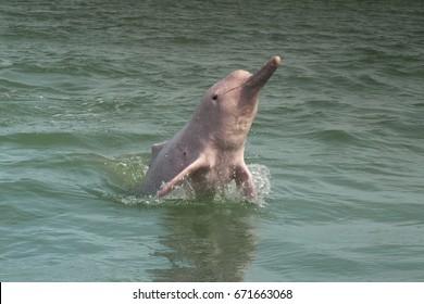 Pink dolphin  jumping  at Khanom, Nakhon Sri Thammarat, Thailan