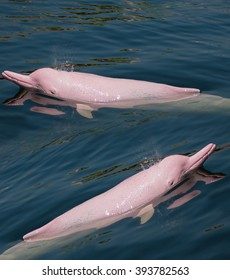 Pink Dolphin swimming in the sea.