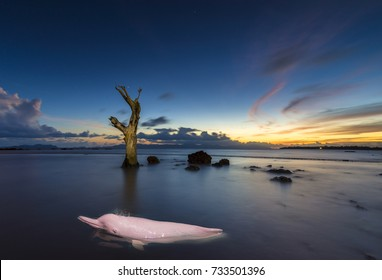 Pink Dolphin swimming in the sea at the twilight.
