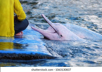 Pink dolphin waiting for food from its trainer
