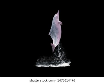 Pink dolphins jump over the water,isolated on black background with clipping path