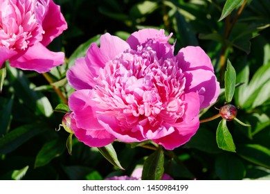 Pink double flowered Peonies in the nature