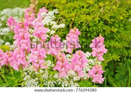 Pink Dragon Flowers Snapdragon Antirrhinum Majas Stock Photo Edit