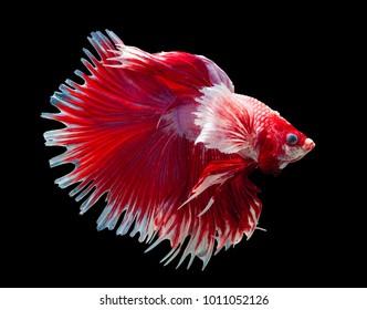 Pink dumbo betta,Gold Big ears HMPK,Multi color Siamese fighting fish(Rosetail-halfmoon),fighting fish,Betta splendens,on black background