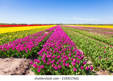 Pink Dutch tulips flowers field with a blue sky during Spring season in Drenthe, the Netherlands