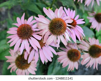 Pink Echinacea in the flower bed close-up