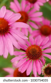 Pink Echinacea Flowers. Close up of pink Echinacea flowers