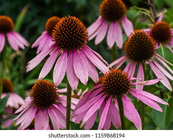 Pink Echinacea flowers in the garden. Herbal plant. Echinacea purpurea.