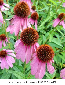 Pink Echinacea flowers with spiky brown capitula