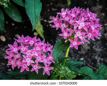 Pink Egyptian star clusters