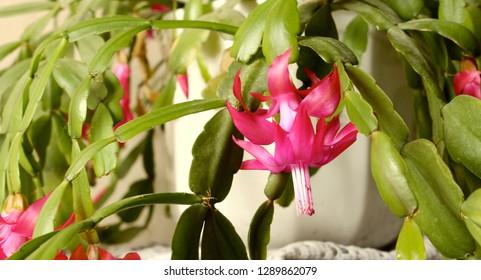 Pink Epiphyllum flower. bloom cactus.