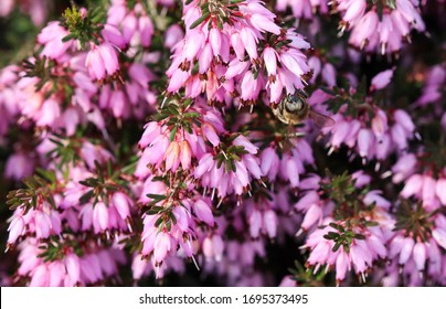 Pink Erica Carnea flowers (Winter Hit) and a working bee in a spring garden