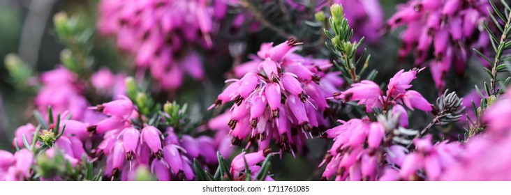 Pink Erica carnea flowers (winter Heath) in the garden after rain in early spring. Floral background, botanical concept