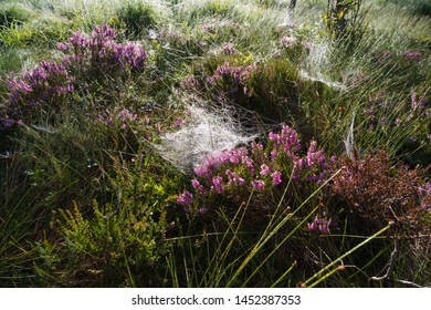 Pink Erica Carnea plant covered with cobwebs with morning dew on it