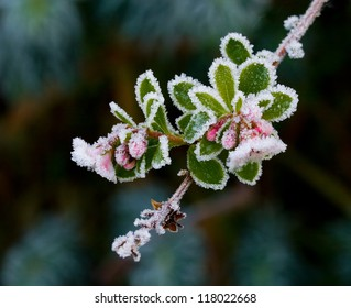 Pink Escallonia buds and flowers covered in winter frost