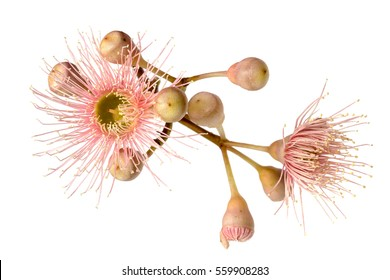 Pink eucalyptus flower with buds, isolated on white background.  Large file.