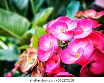 The pink Euphorbia milii with blurry background.