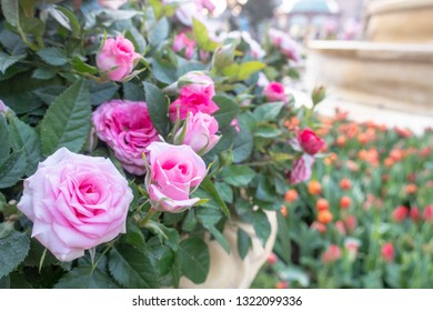 Pink fairy or Pink pigmy roses in garden