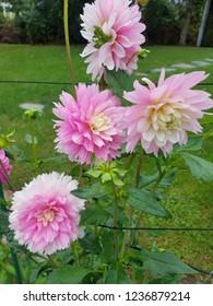 Pink Fall Flowera