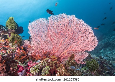 Pink fan coral and colorful tropical fishes in Anilao, Philippines.