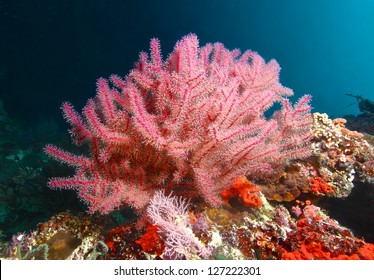 Pink fan coral and fish in cebu, Philippines