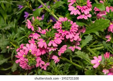 Pink fan flower scaevola aemula growing in hothouse. Closeup.