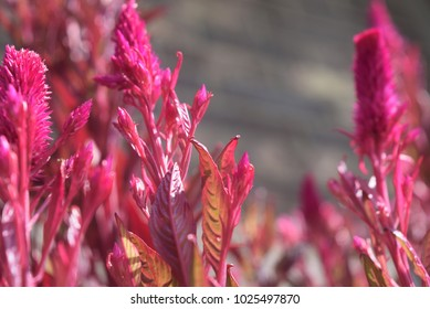 Pink feather like plant in the sunlight