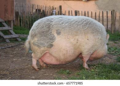 "Pink female ""Pot-Bellied Pig"" in Gornhofen, Baden-Wuerttemberg, Germany."