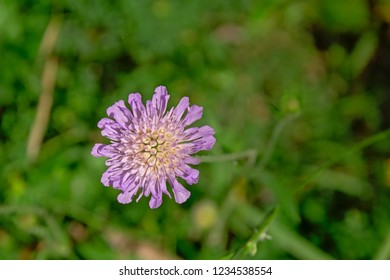 Pink field scabious flower, overhead view with green bokeh background - Knautia arvensis