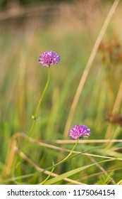 Pink field scabious flower, selective focus on a green bokehbackground - Knautia arvensis