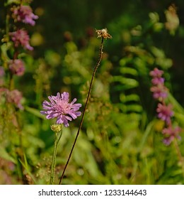 Pink Field scabulous flowers on a green blurry background - Knautia arvensis