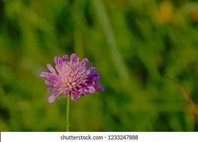 Pink Field scabulous wildflower on a green bokeh background - Knautia arvensis
