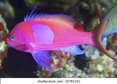 pink fish closeup