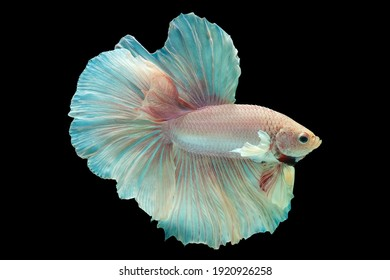 Pink fish, Fancy Halfmoon Betta, Betta splendens Pla-kad (biting fish), Rhythmic of Betta fish isolated on black background.