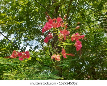 Pink Flamboyant flowers blooming. (Gulmohar, Flamboyant Tree)