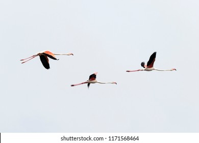 PINK FLAMIGOS FLYING