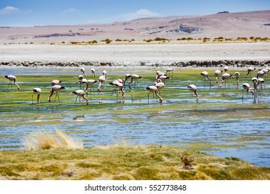 Pink flamingo in Atacama Desert in Chile, South America