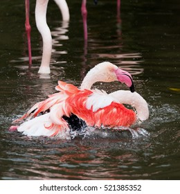 A pink flamingo bath in the water