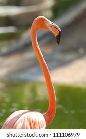 Pink flamingo closeup. Friguia zoo, Tunisia