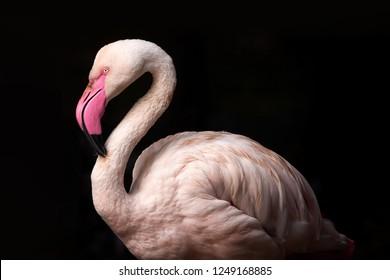 Pink flamingo during sunset light on black background