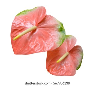 Flamingo flower images stock photos vectors shutterstock pink flamingo flower isolated on white background mightylinksfo Images