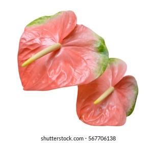 Flamingo flower images stock photos vectors shutterstock pink flamingo flower isolated on white background mightylinksfo