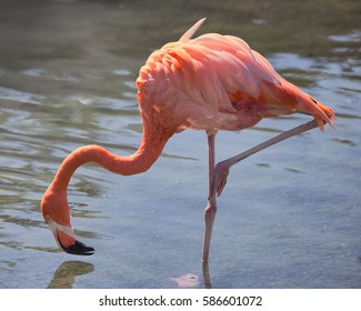 A pink Flamingo foresting for food. The teeth are clearly visible