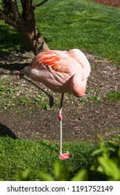 A pink flamingo with his head tucked in under its wing and resting while standing up.