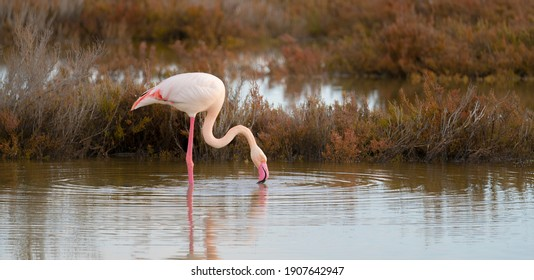pink flamingo looks for food in the Molentargius pond in Cagliari, southern Sardinia