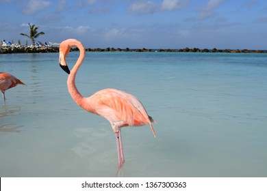 Pink Flamingo on the beach of Aruba island