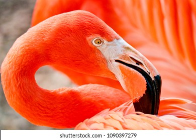 Pink Flamingo Portrait Close up