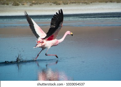Pink flamingo is running and taking off from mirrow surface of Laguna Hedionda - salina lake in Bolivian Altiplano