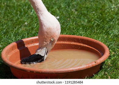 A pink flamingo is using his beak to filter food out of water in a shallow dish on a background of grass.